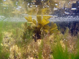 Seaweed in very clear shallow water