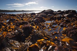 Brown seaweed covering rocks on the beach