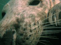 close up of a seal's face underwater