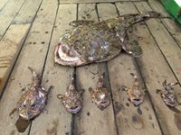 various size monkfish on deck of boat